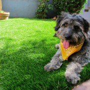 Krinkles loves his new lawn! Photo Courtsey: HomeJelly
